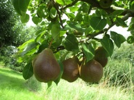 Pears Growing